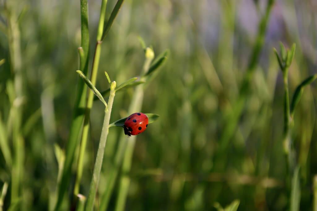 ladybug Tenia Prokalamou
