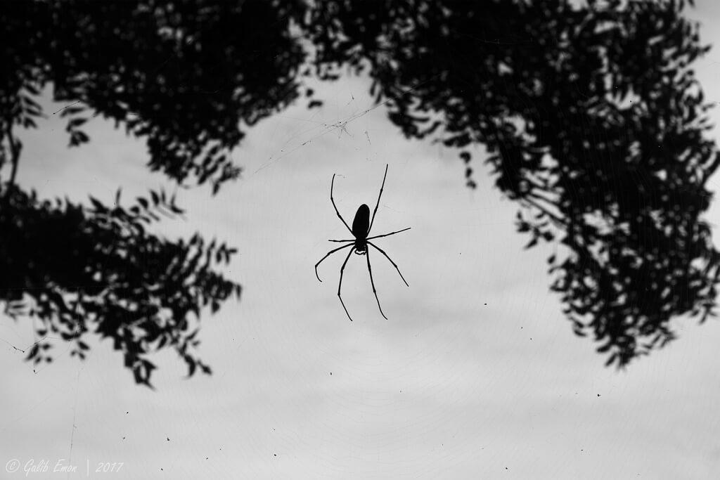Galib Emon spider