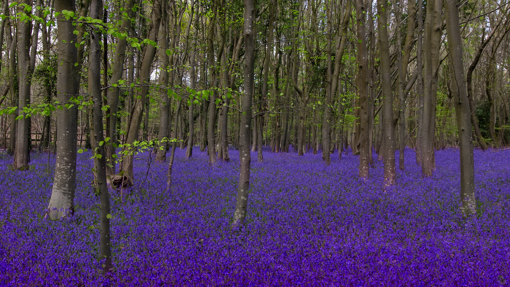 sagesolar - bluebell woods - pictures of flowers