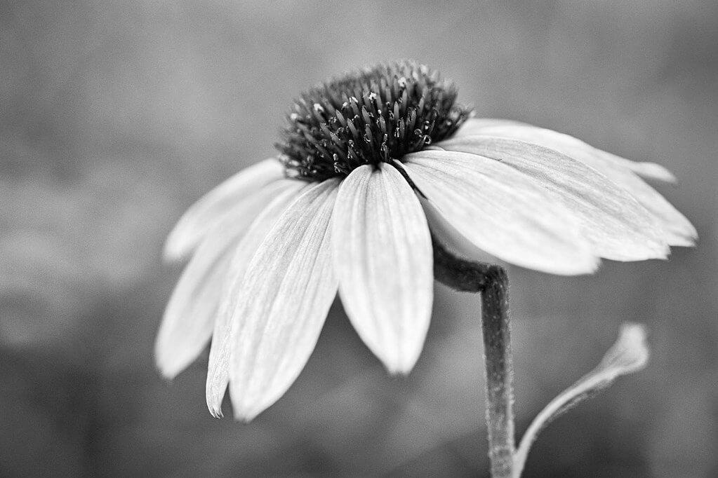 Joe - coneflower - pictures of flowers