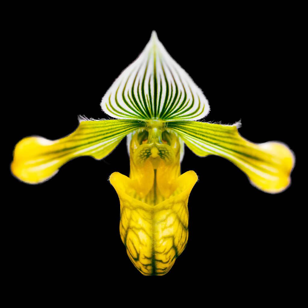 Joe - Orchid