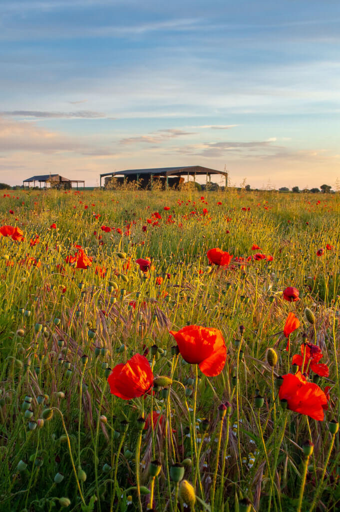 Chris Combe - Yorkshire Poppies - pictures of flowers
