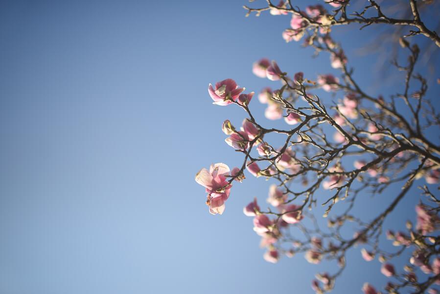 jordan parks magnolia blossoms
