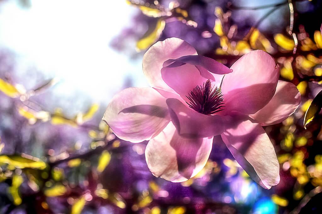 Natalia Medd magnolia blossom