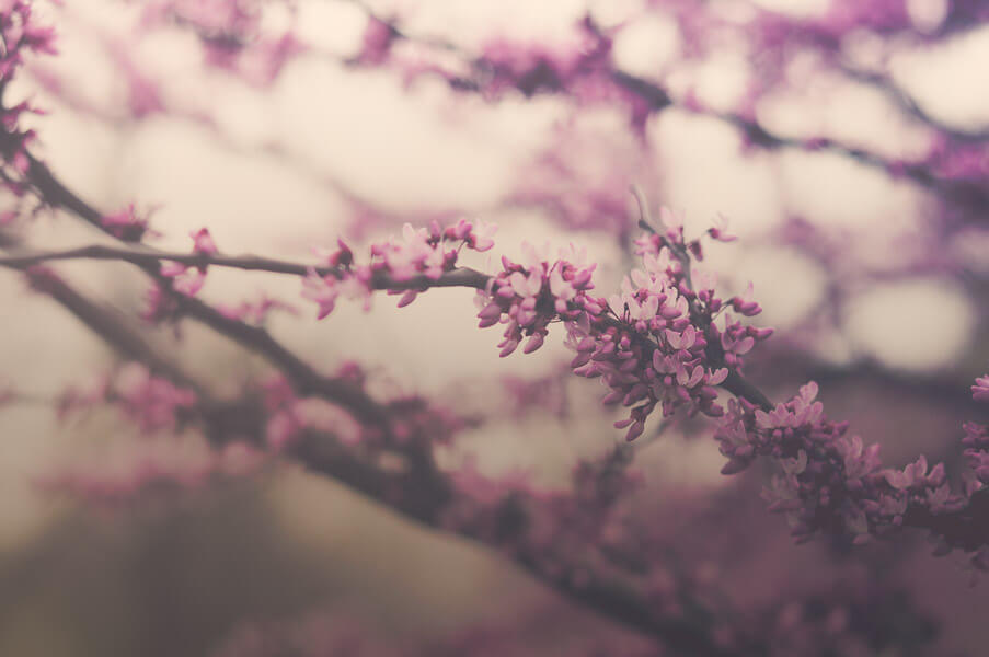 jordan parks - cherry blossoms
