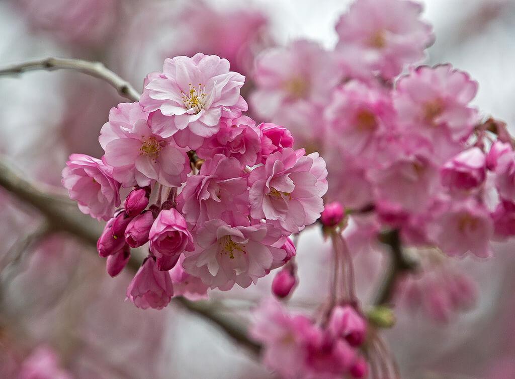Lidija Bondarenko - Cherry blossom