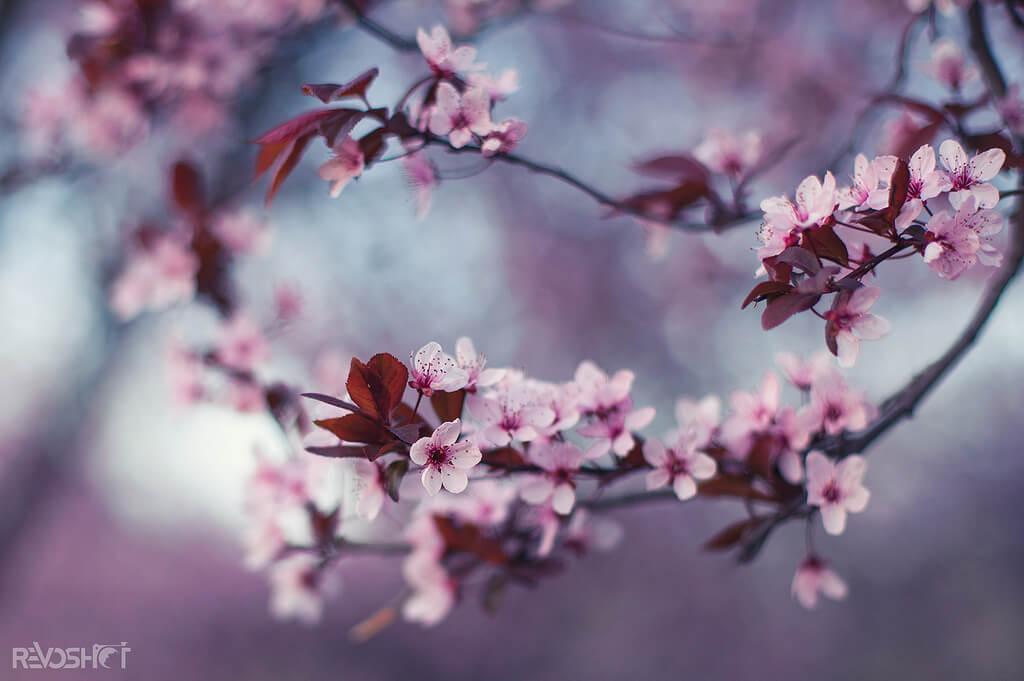 Yane Naumoski - Spring cherry blossoms