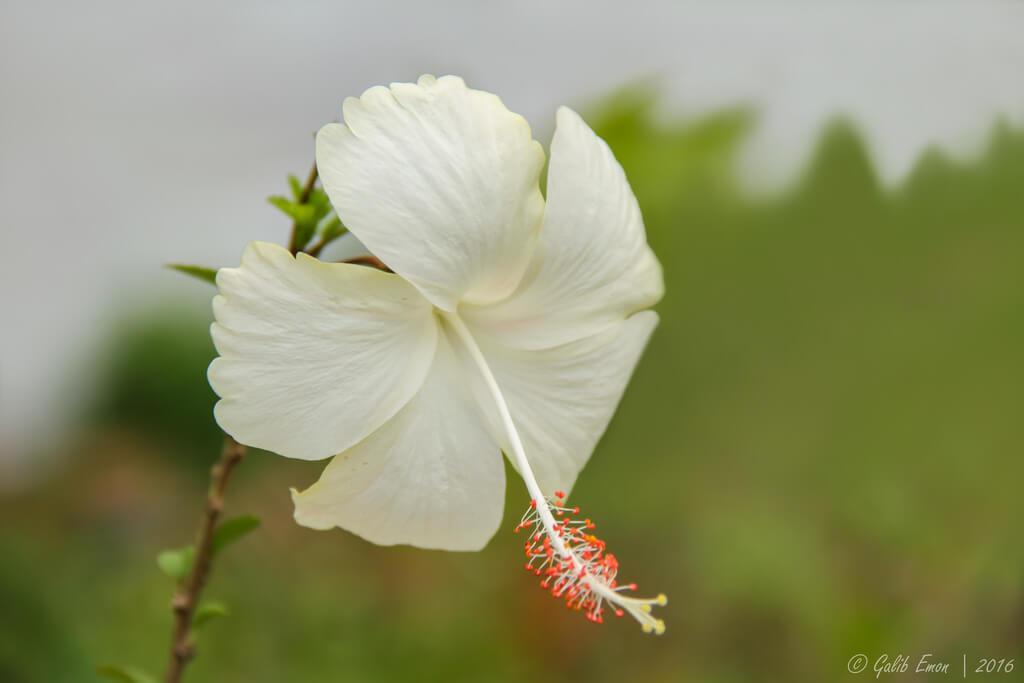 Galib Emon - HIBISCUS ROSA-SINENSIS Flower
