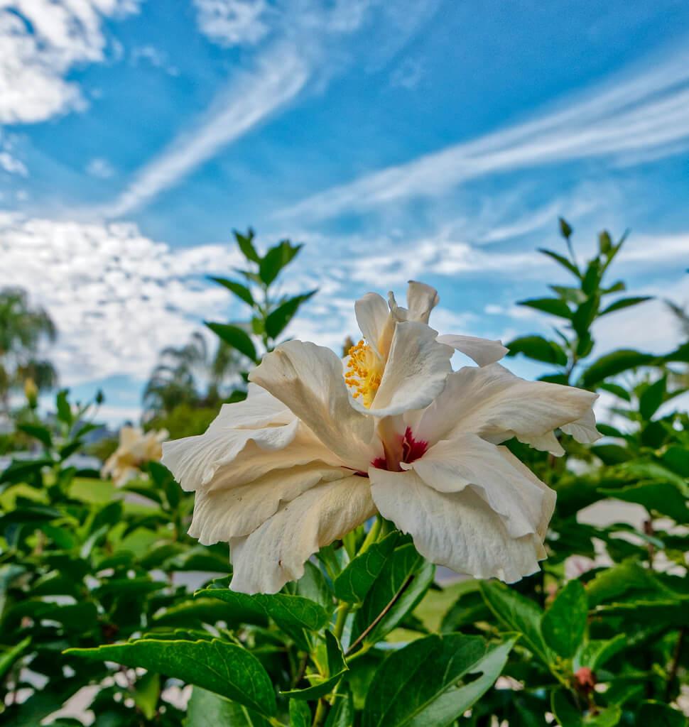 photobom - Hibiscus Flower