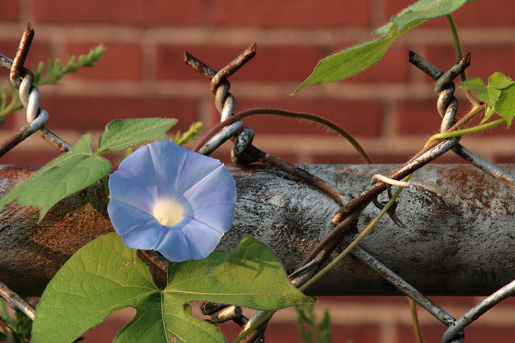 Brock Roseberry morning glory flower