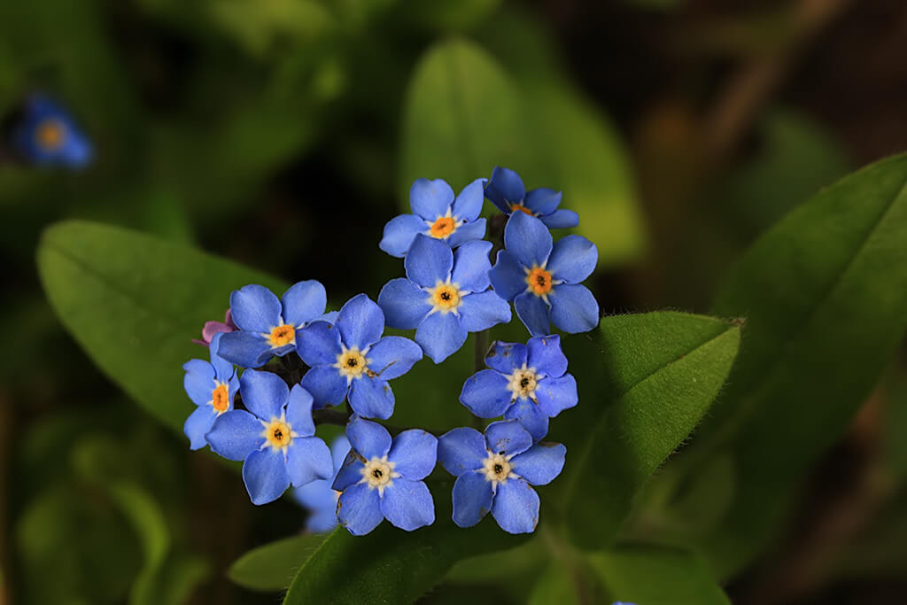 Els - Forget-me-not
