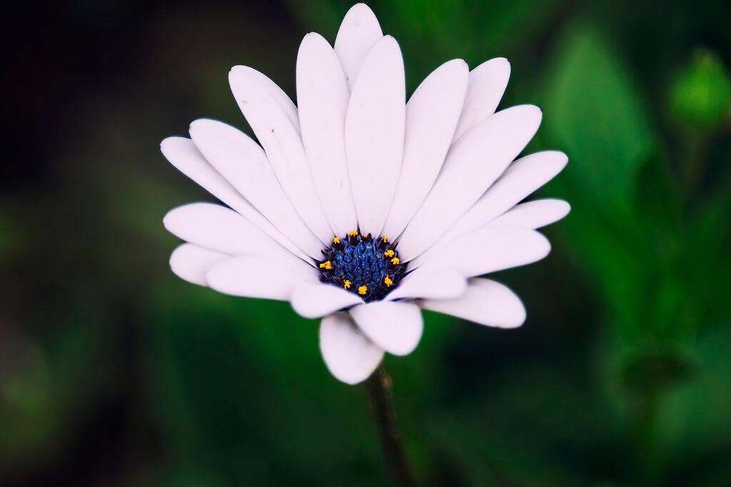 Shamini - Blue Eyed Daisy