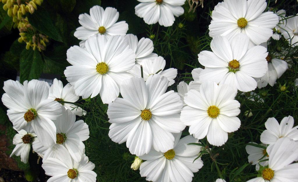 Rubem Porto Jr - White Daisy, Hampton Court, England