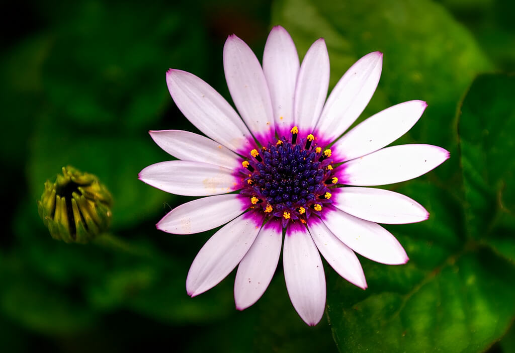 Tenia Prokalamou pink white daisy