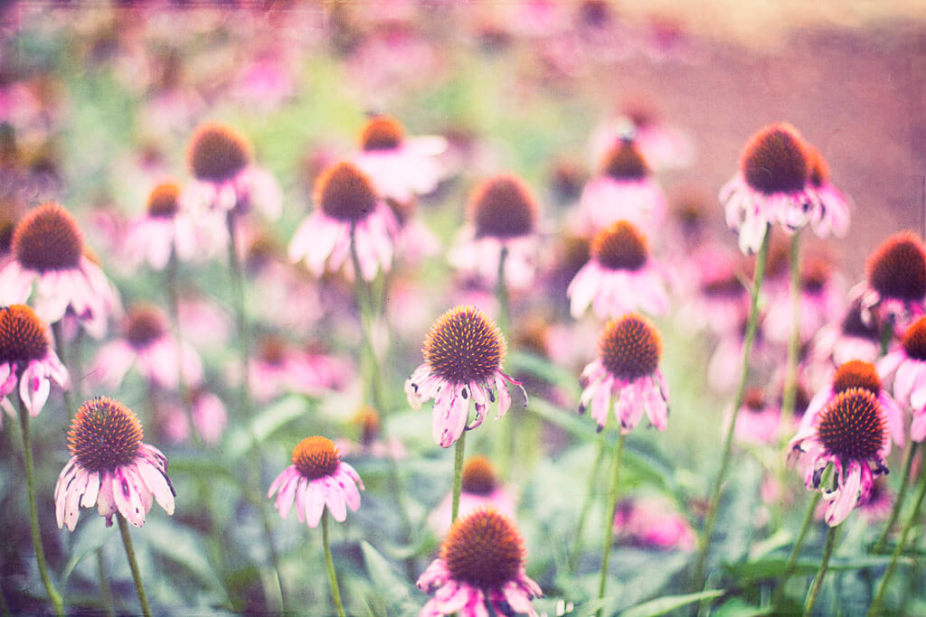 Donnie Nunley coneflowers - pictures of flowers