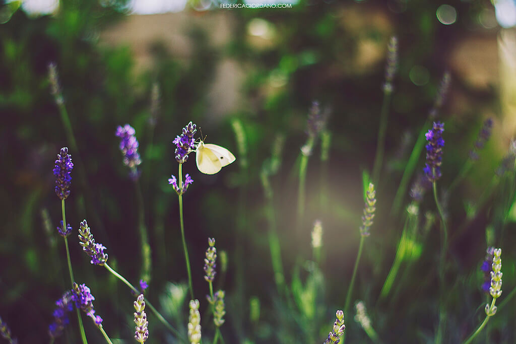 Federica Giordano - lavender