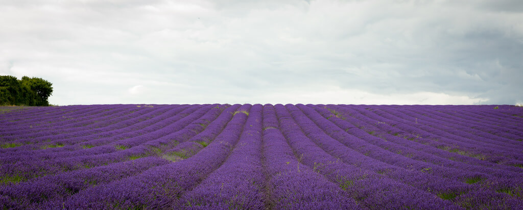 Hemzah Ahmed - Purple lavender fields