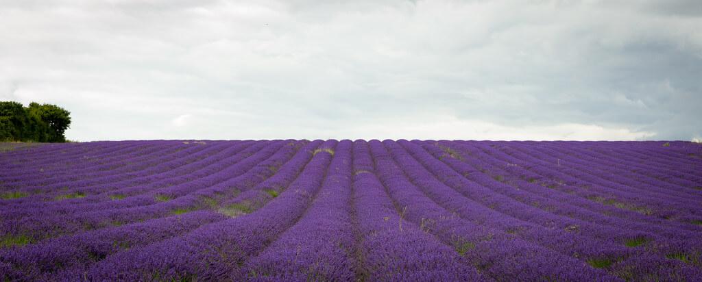 Hemzah Ahmed - Purple lavender fields