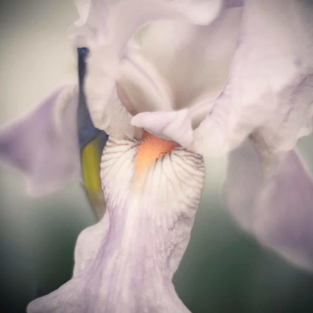 R Casey - white iris