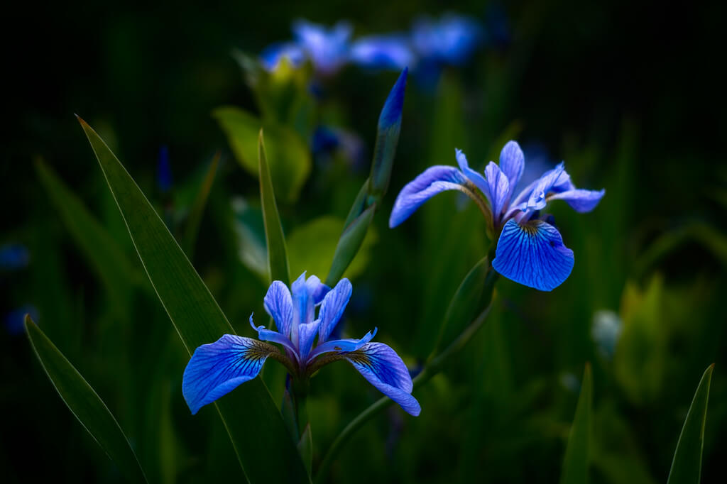 Andy Farmer - Blue Iris