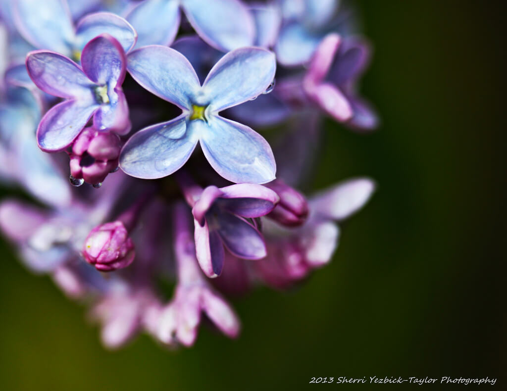 Sherri Yezbick-Taylor - Lilacs