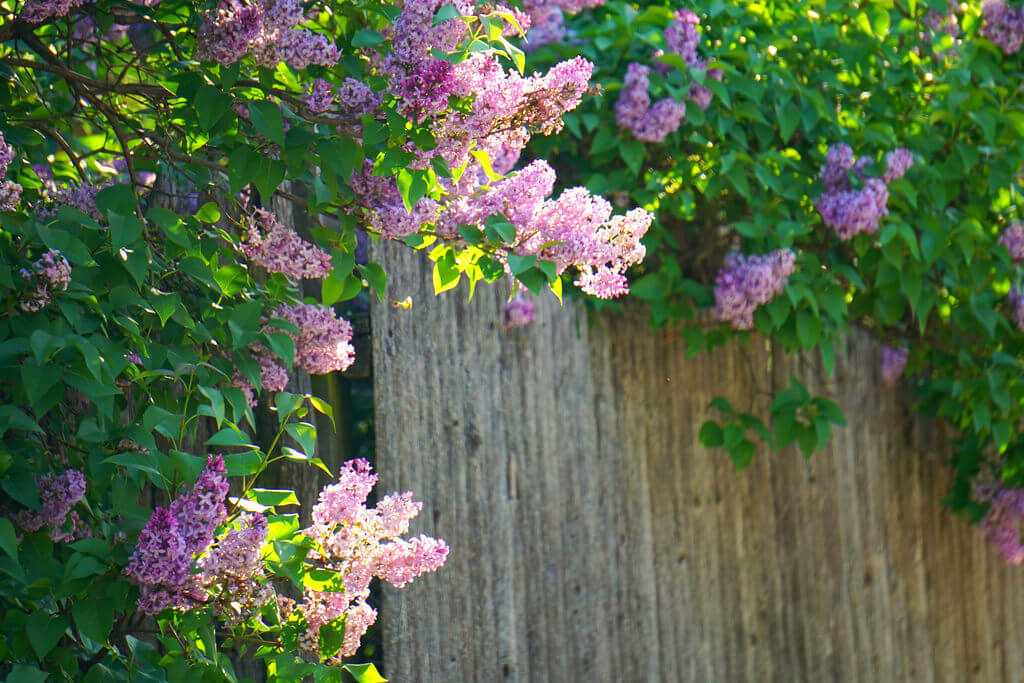 Rachel Kramer - Lilacs on Fence