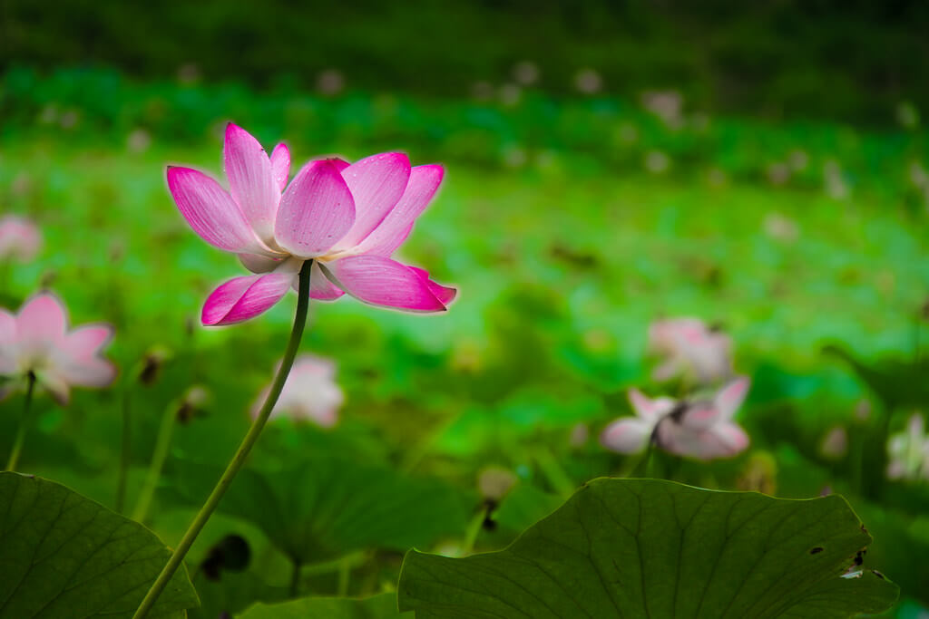 Tuhin alom Photography - Lotus flower