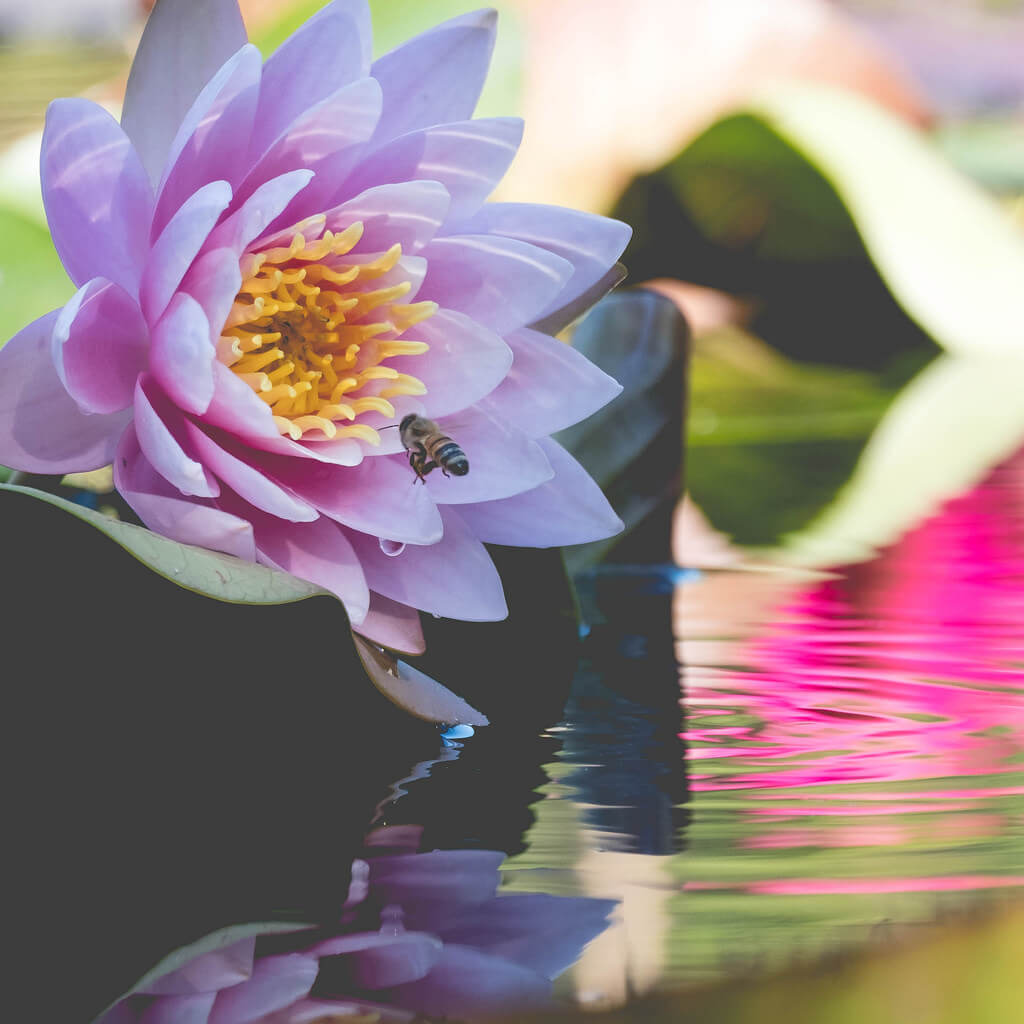Nate Hughes - Bee flying into a waterlily - pictures of flowers