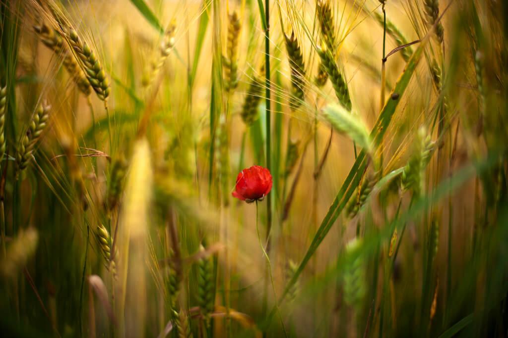 James Drury - poppy - pictures of flowers