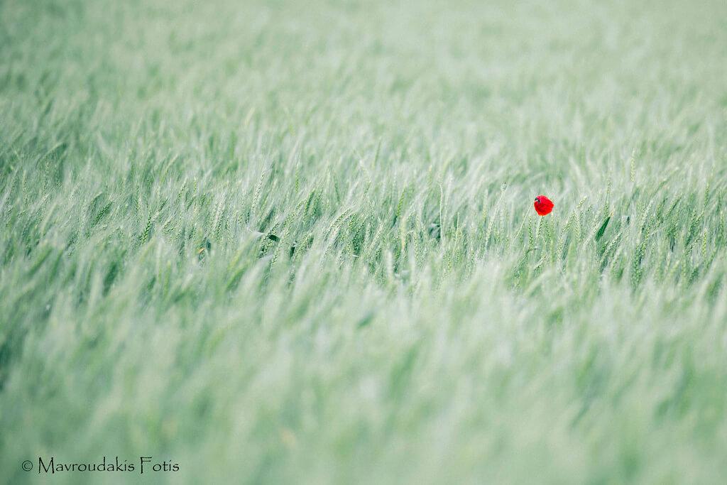 Fotis Mavroudakis - Lonely Poppy in Wheat Field - pictures of flowers