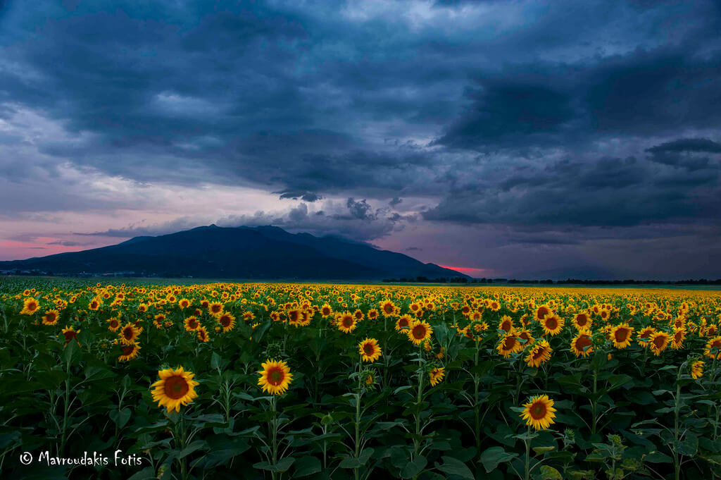 Fotis Mavroudakis - Sunflower field - pictures of flowers
