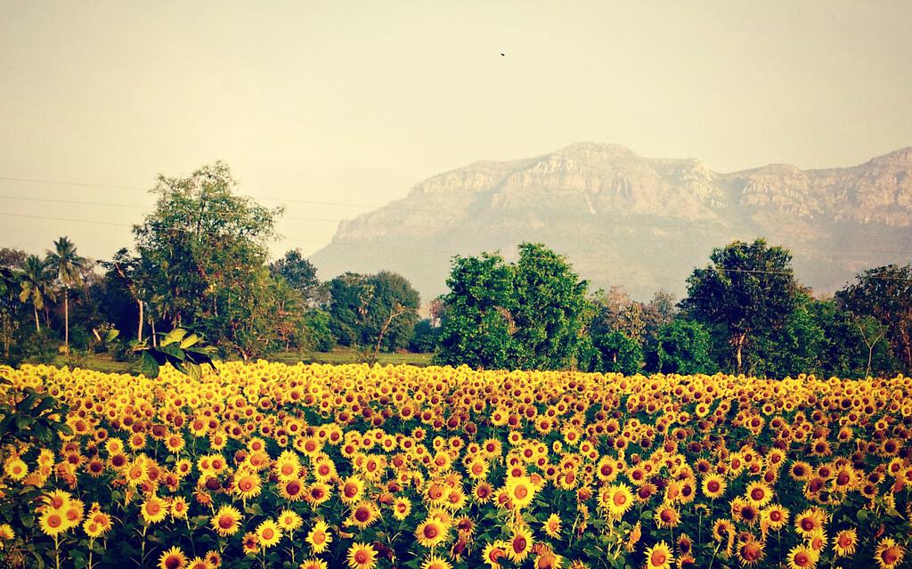 Shamini - Sunflower Garden - pictures of flowers
