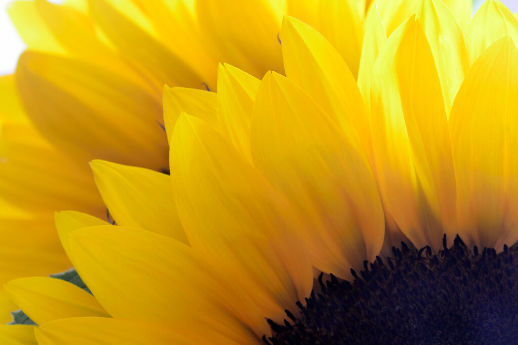 Steven Scott - Sunflower macro