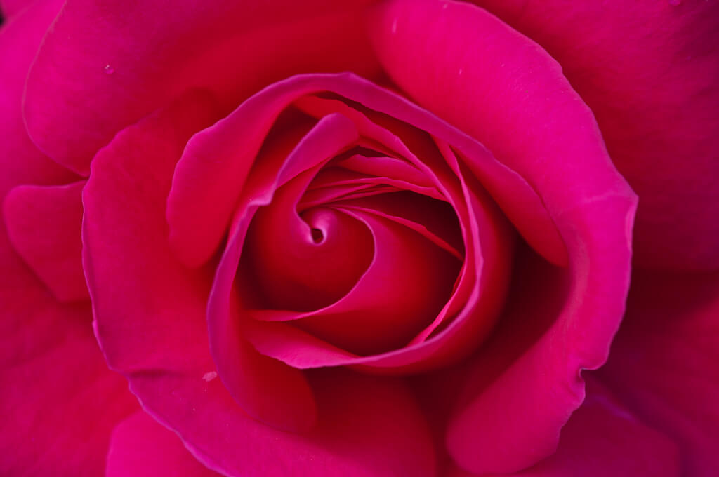 Joanne Levesque - rose macro
