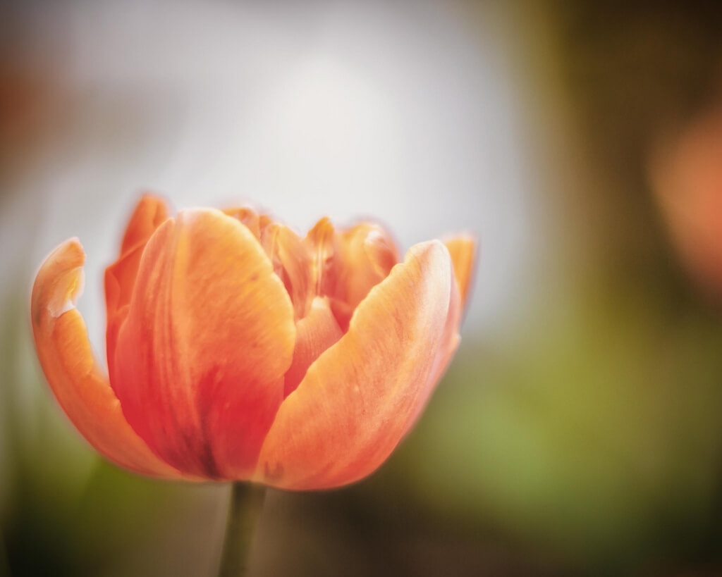 R Casey - orange tulip
