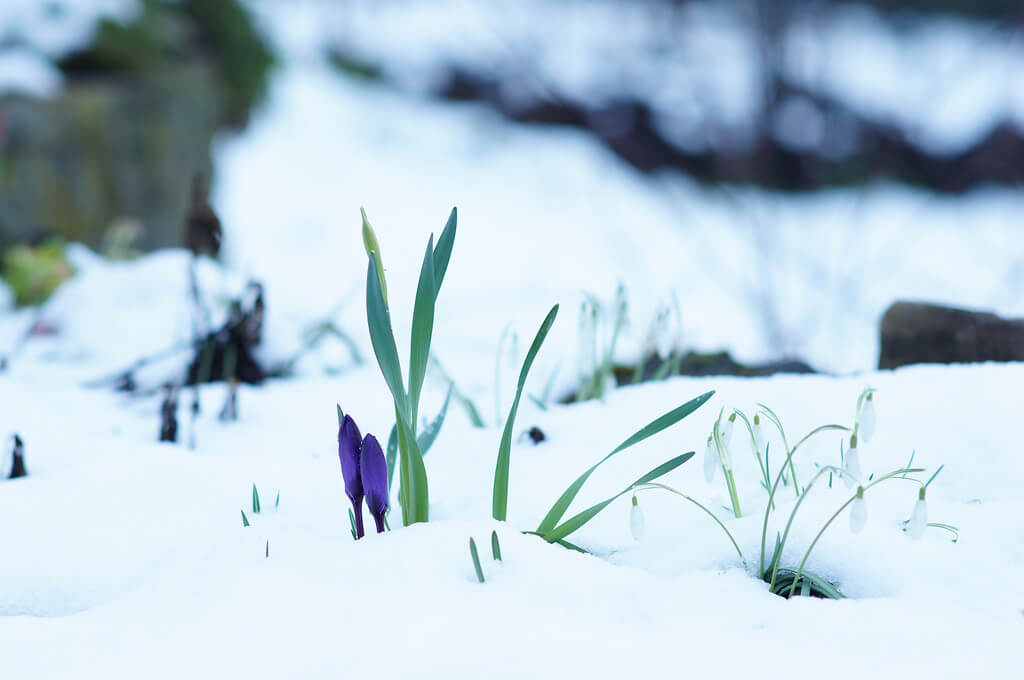 Bernhard Friess - Crocus and Snowdrops in snow