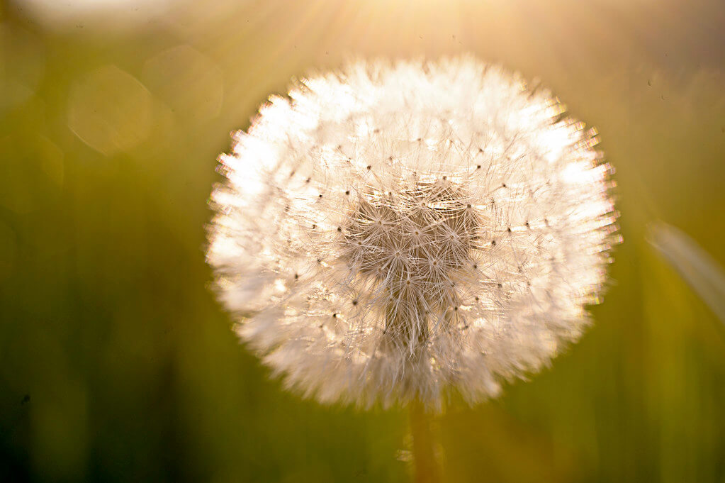 Christopher - Light and Fuzzy dandelion