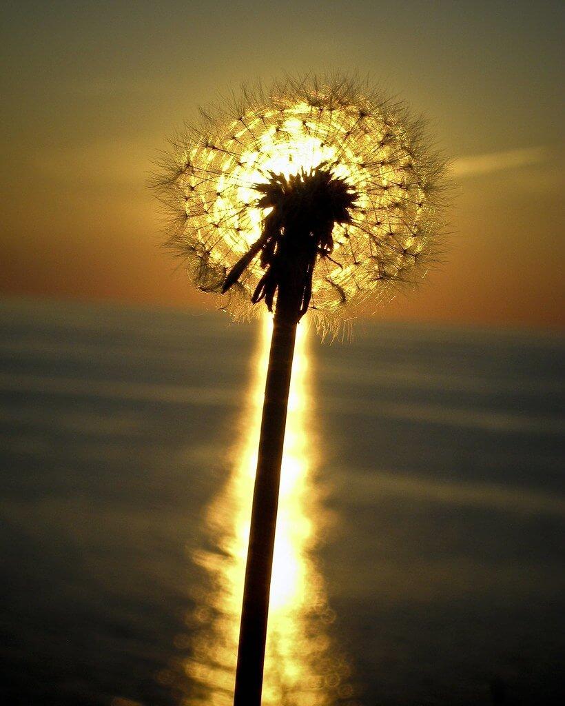 Darren Shilson - dandelion sunset