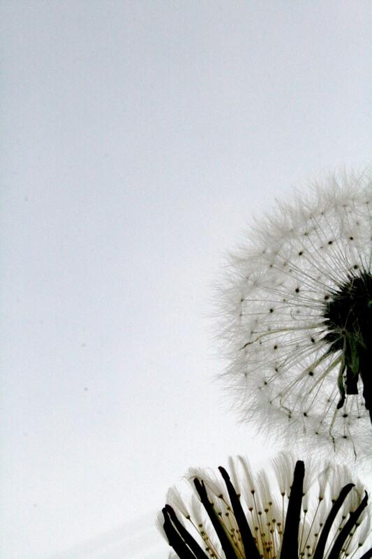 orangemania - dandelions