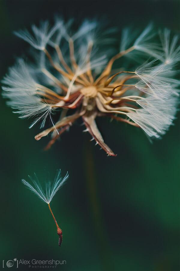 Alex Greenshpun - dandelion seed