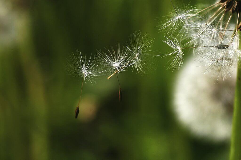 gianni - dandelion seeds