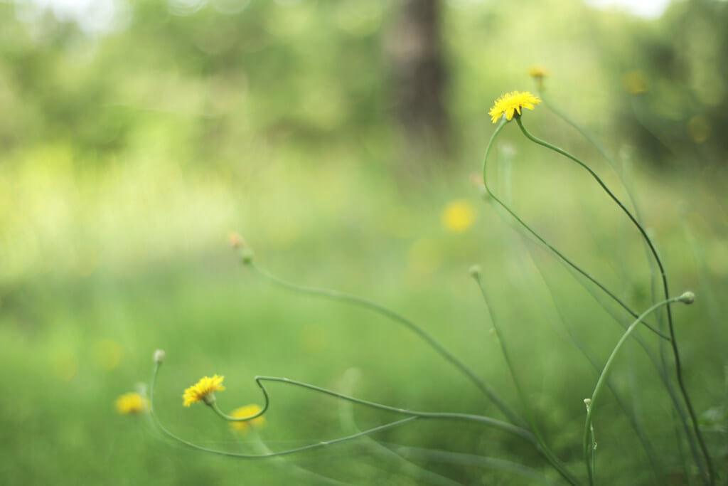 けんたま/KENTAMA - Curl Flower