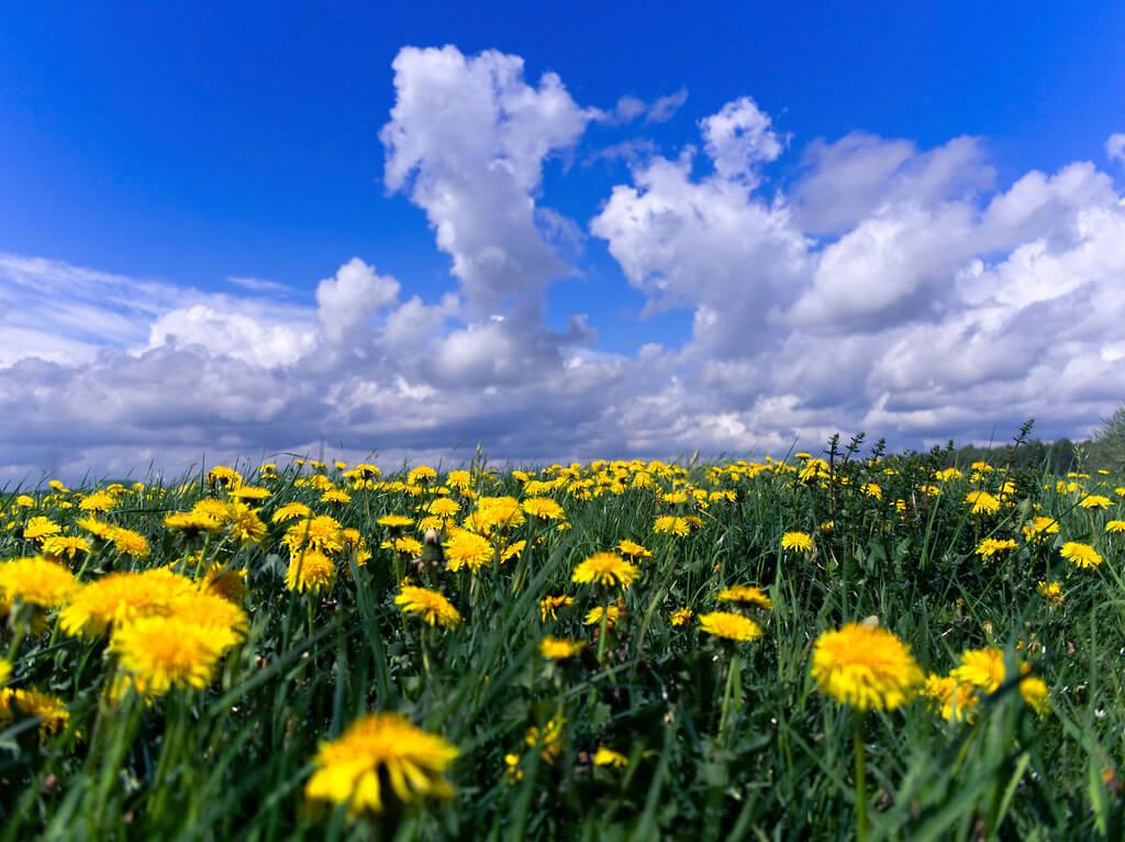 Michael Mueller - dandelion field