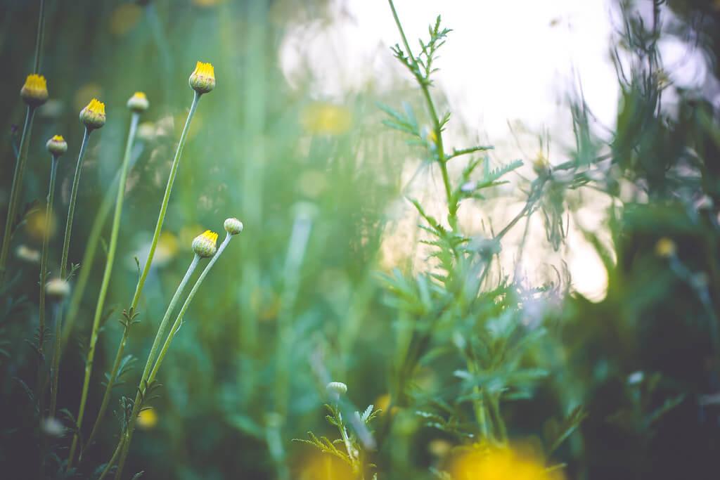 Amarpreet Kaur - yellow dandelion flowers