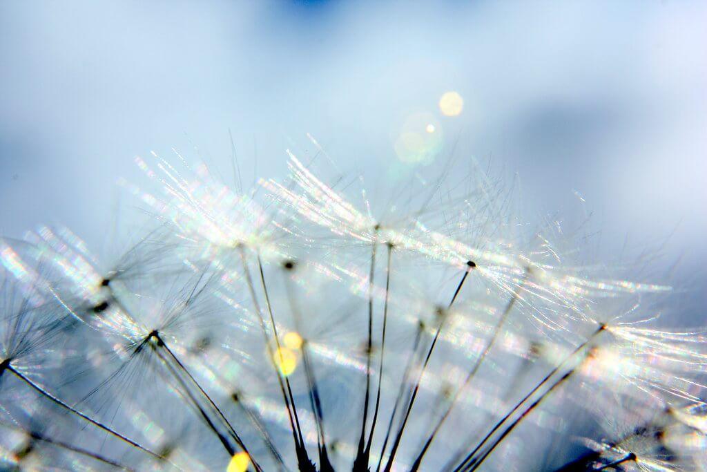 Martin Fisch - feathery dandelion
