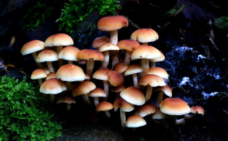 Hypholoma fasciculare, (Sulphur tuft,)