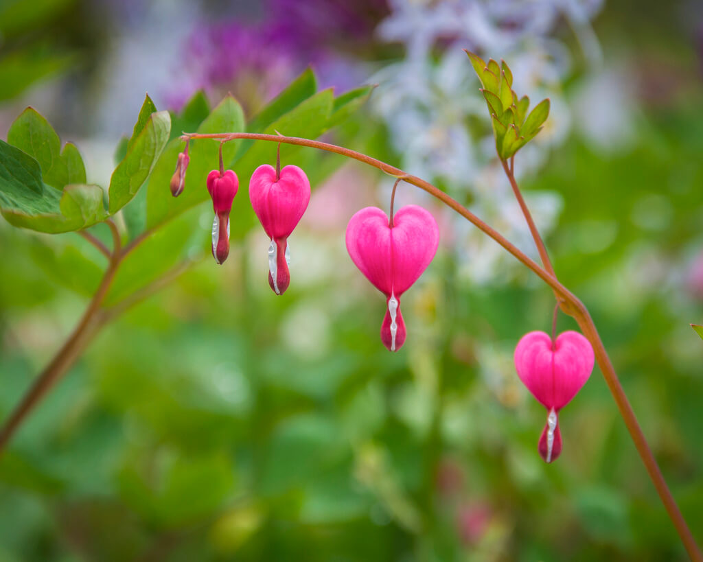 Thomas - Bleeding Hearts