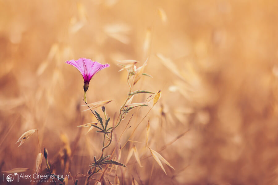 Alex Greenshpun - pink flower in field