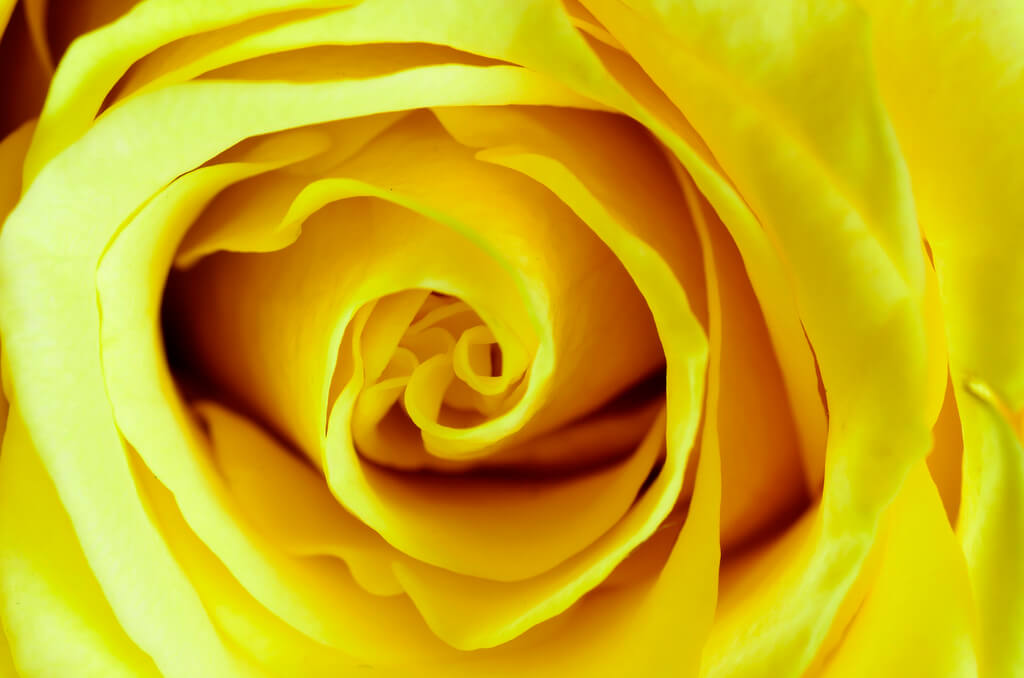 Steven Scott - Yellow rose