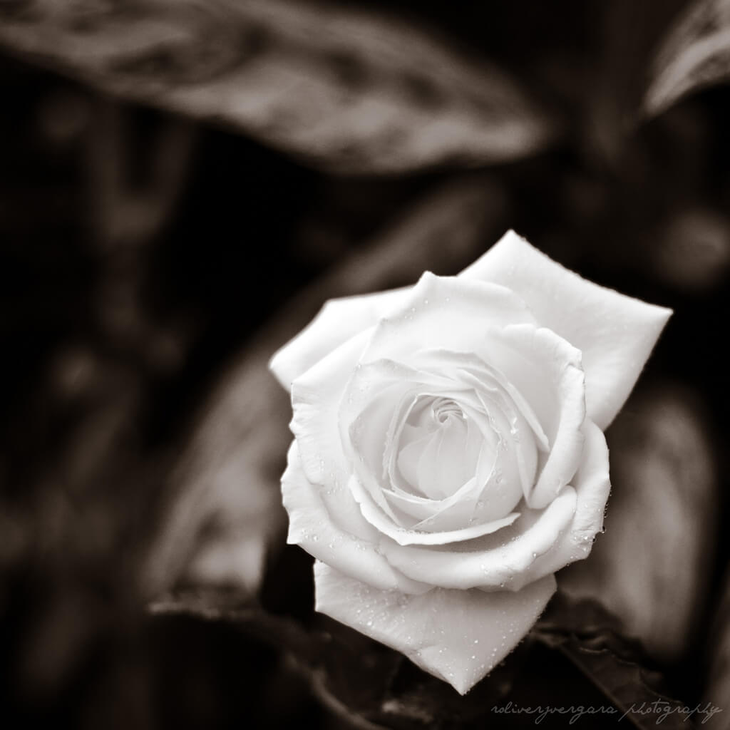 roliverjvergara - black and white rose